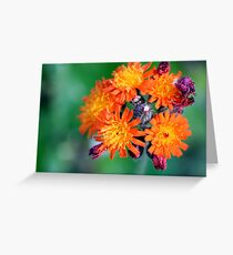 Devil's Paintbrush - Pilosella aurantiaca Greeting Card
