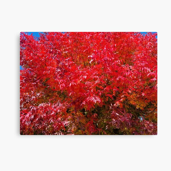 Beautiful intense red autumn leaves Canvas Print