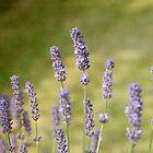 Lavender by Karen  Betts