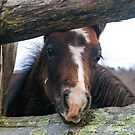 Connemara Foal by bcollie