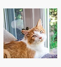 Orange and White Tabby Cat Rescued  Photographic Print