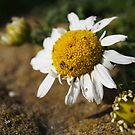 Daisy by SophieGorner7