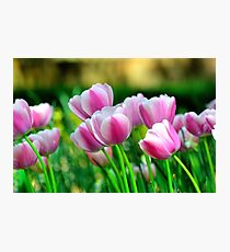 Pink Tulips in Spring Photographic Print