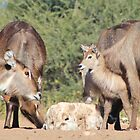 Waterbuck - African Wildlife Background - Cute Calf Antics by LivingWild