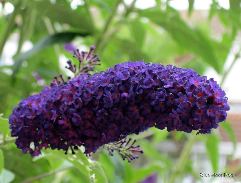 Butterfly Magnet - Buddleja Beauty by BlueMoonRose