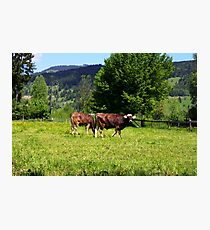 Cows of Oberammergau Photographic Print