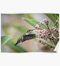 Ruby Throated Hummingbird 2016-1 Poster