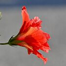 Red by telley20
