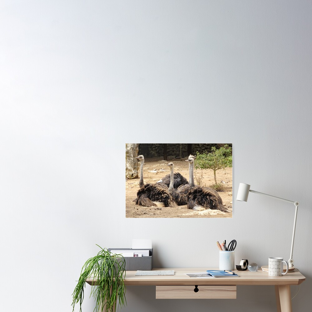 flock of ostriches Poster