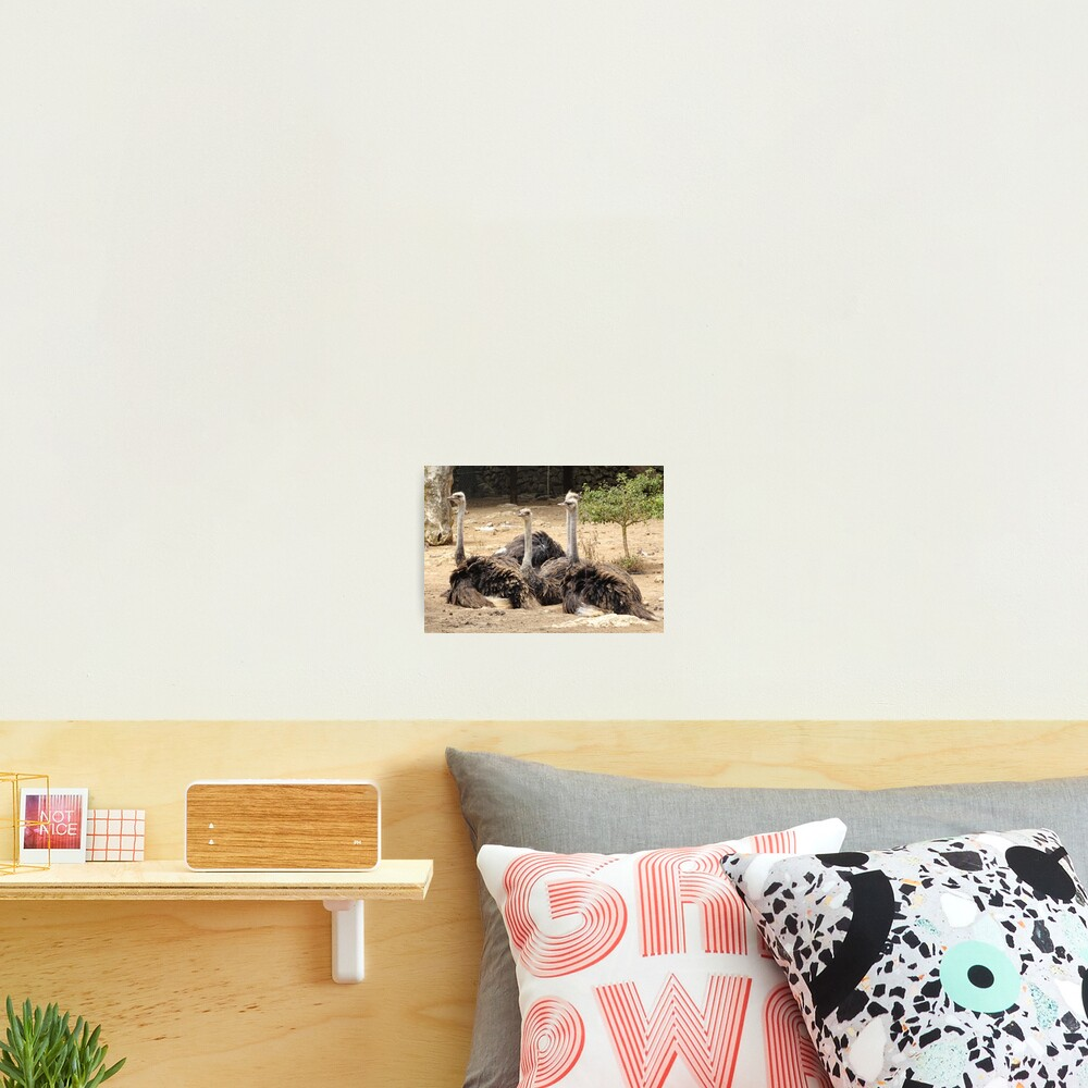 flock of ostriches Photographic Print