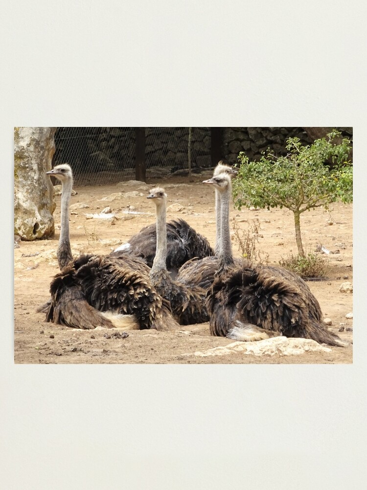 Alternate view of flock of ostriches Photographic Print