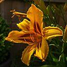 Lily. by naranzaria