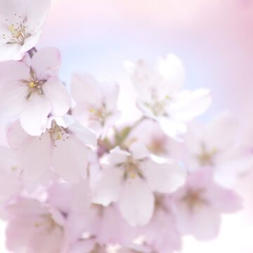 Cherry Blossoms/Pretty In Pink by BrentFennellArt
