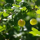 Ripe gooseberries by Maryna Gumenyuk