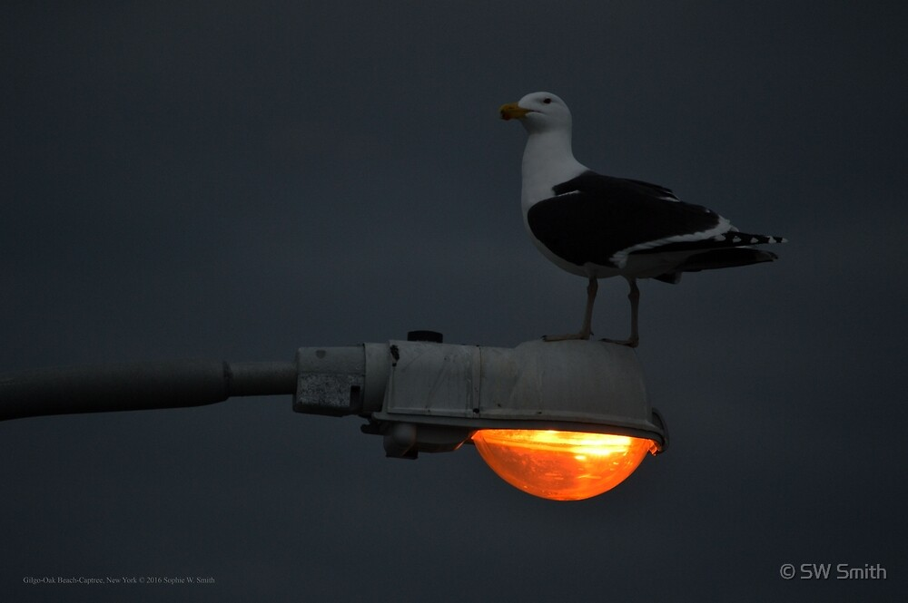 Larus Marinus - Great Black-Backed Gull | Gilgo-Oak Beach-Captree, New York by © Sophie W. Smith