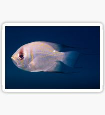 Threadfin Pearl Perch, Ningaloo Reef Sticker