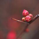 Flowering Quince in Bud by Joy Watson