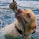 Golden Labrador by Joe Saladino