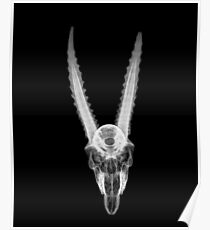 X-ray of a skull of a gazelle on black background  Poster