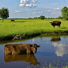 Cow cooling off by Joe Saladino