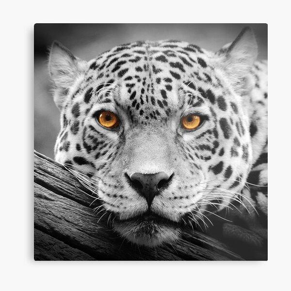 Jaguar Stare Metal Print
