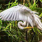 Great White Egret by Joe Saladino