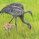 Sandhill crane parents with chick by Joe Saladino