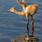 Sandhill crane chick by Joe Saladino