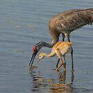 Feeding Sandhill Cranes by Joe Saladino