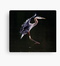Great Blue Heron on the Wing Canvas Print