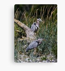 Two Hersons at Rest Among the Grasses Canvas Print