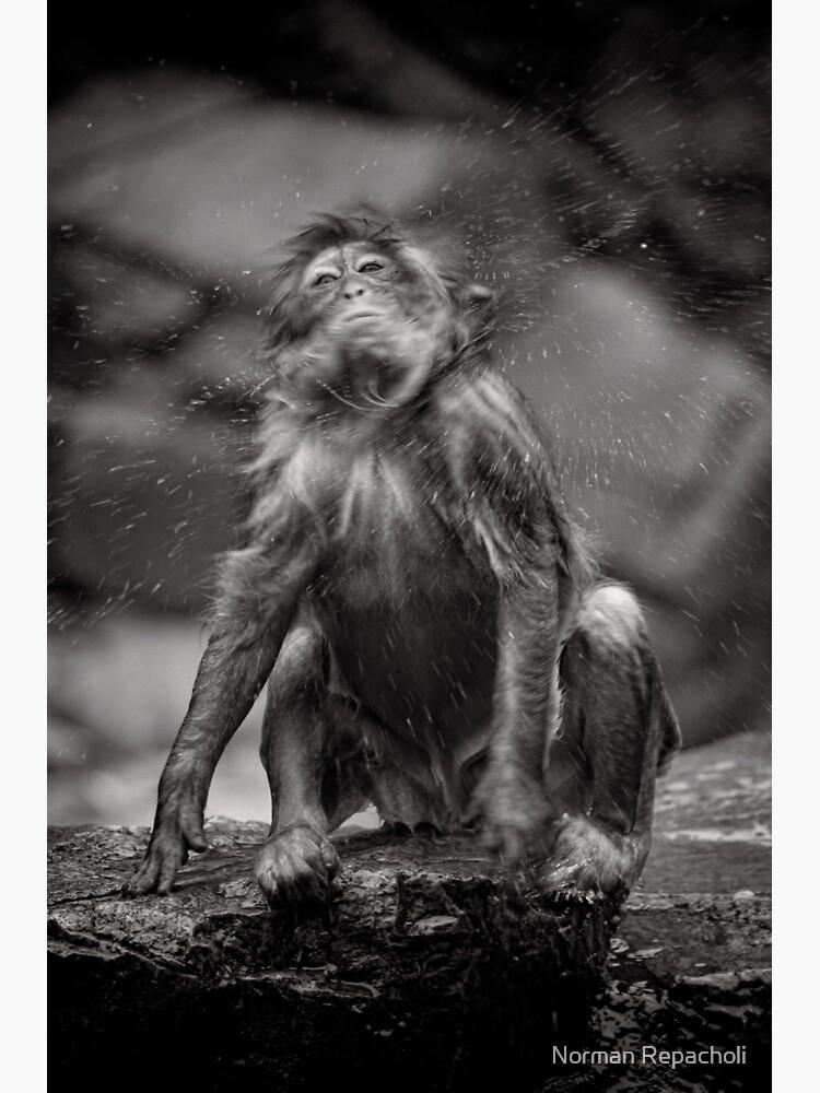 Snow Monkey Shake Down by keystone
