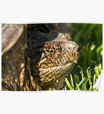 Big Snapping Turtle Poster