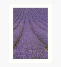 Rows of Lavender Art Print