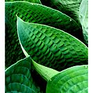 Hosta Leaves by Valerie  Fuqua