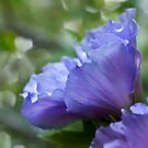 Ethereal blue - rose of sharon by Celeste Mookherjee