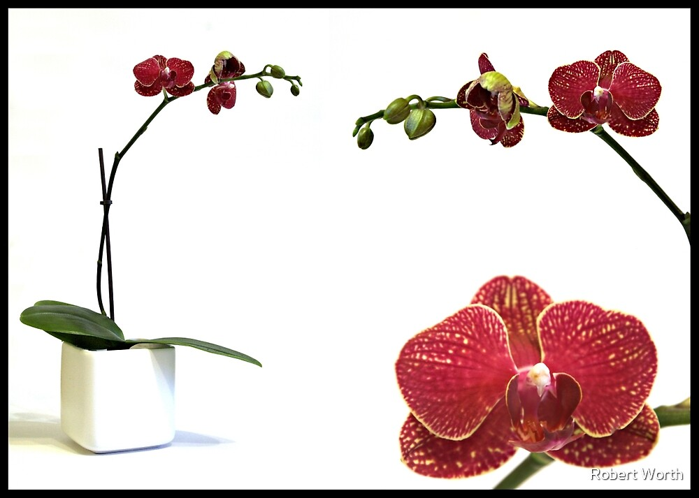 Orchid Study by Robert Worth