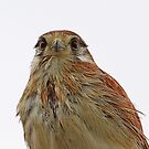 Wet and windy Kestral by robmac