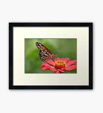 Butterfly on Zinnia Framed Print