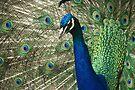 Posing Peacock by ValeriesGallery