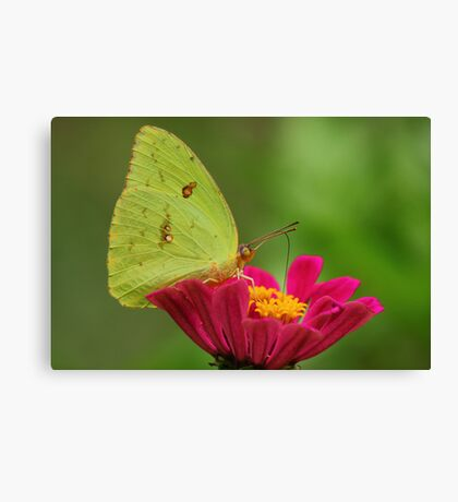 Yellow Butterfly on Pink Zinnia Canvas Print