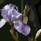 Bluish Purple and Yellow Iris by Terry Krysak