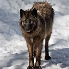 Black Wolf by WolvesOnly