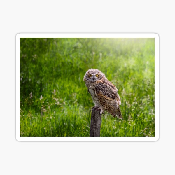 Baby Great Horned Owl Sticker