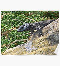 Black Girdled Lizard Poster