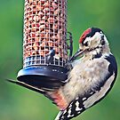 Juvenile greater spotted woodpecker visits Hill Top by Dan Shalloe