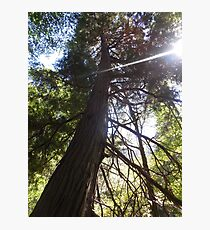 stretching tree Photographic Print