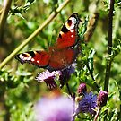 Peacock Butterfly by LydiaWoods