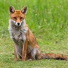 Fox by Alan Forder