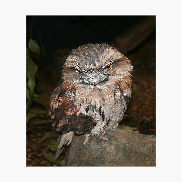 Frogmouth  Photographic Print
